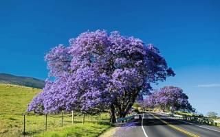 Жакаранда (фиалковое дерево) в цвету.