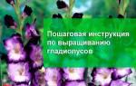 8 главных правил по выращиванию гладиолусов