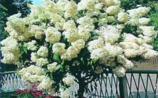 Красавица гортензия