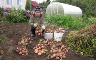Картофель — как собирать по ведру с куста