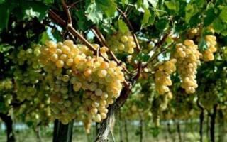 Уход за плодоносящим виноградником