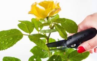 Как правильно обрезать комнатные розы