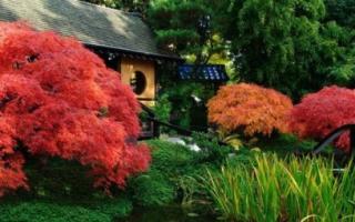 Цветные клены необычный акцент на загородном участке.