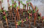 Как быстро и надежно вырастить черенки винограда