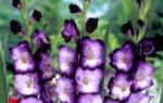 Гладиолусы в горшочках. Красивая идея для двора или дачи.