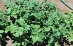 Эксперимент: картофель без окучивания