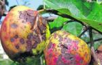 Подскажите, что с яблоней Как лечить