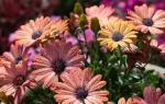 Остеоспермум — африканская чудо-ромашка в нашем цветнике