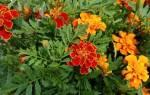 Лучшие однолетние цветы для дачи.
